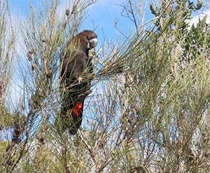 Glossy Black Cockatoo in Ku-ring-gai Chase National Park. Photo: K.Pickering, SydneyOutBack.com.au