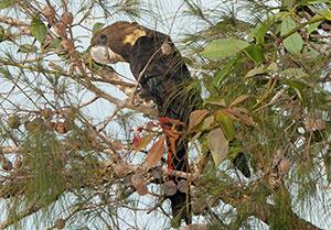 Glossy Black Cockatoo in Ku-ring-gai Chase National Park. Photo: C.Munro for SydneyOutBack.com.au