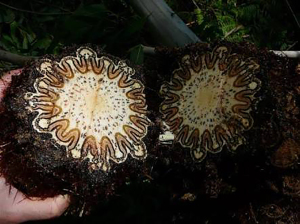 Showing the edible pith of a Dicksonia antarctica that had fallen in a storm on private property, from http://bushcraftoz.com/