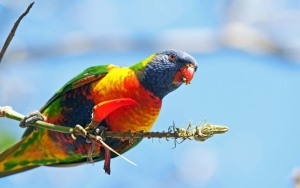 RainbowLorikeet 2014_Munro web