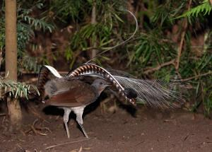 Lyrebird tail display_animalbase