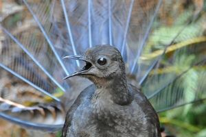 Lyrebird_abc